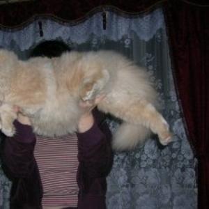 Персидский кот ищет хозяев
