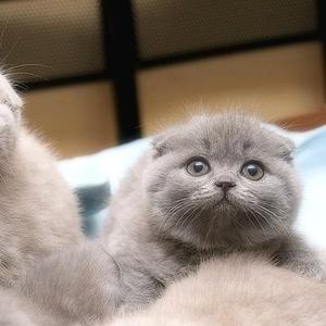 Продам  шотландских  вислоухих  и британских  котят